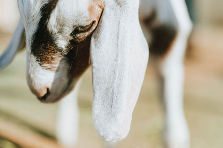 Petua hilangkan bau hamis kambing